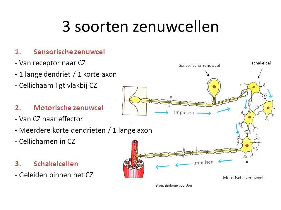 3 soorten zenuwcellen Sensorische zenuwcel - Van receptor naar CZ