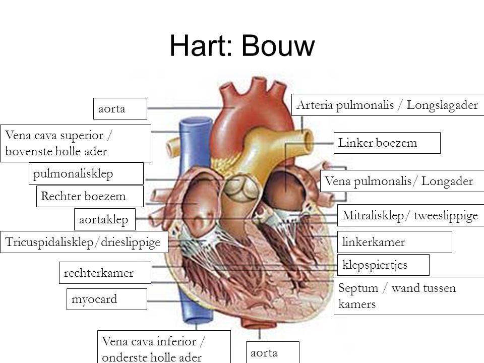 Hart: Bouw Arteria pulmonalis / Longslagader aorta