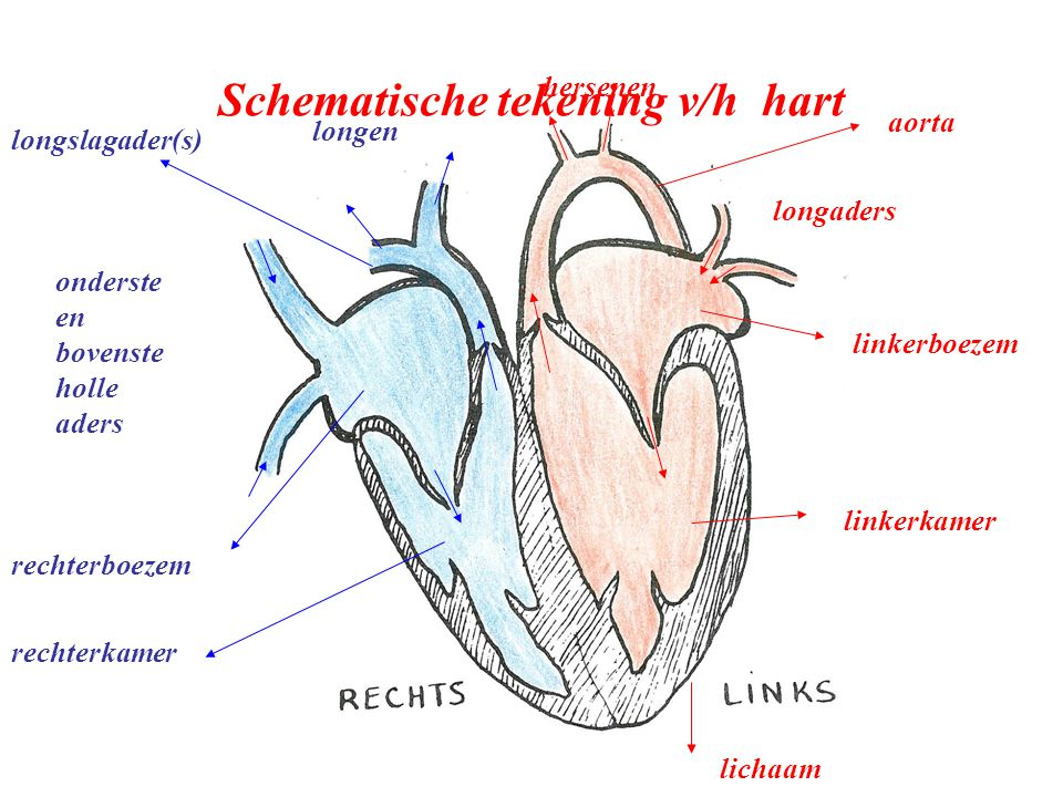 Schematische tekening v/h hart