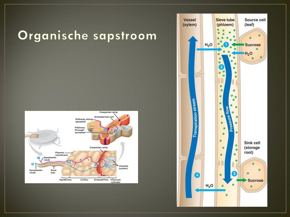 Organische sapstroom