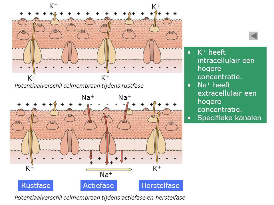 K+ heeft intracellulair een hogere concentratie.