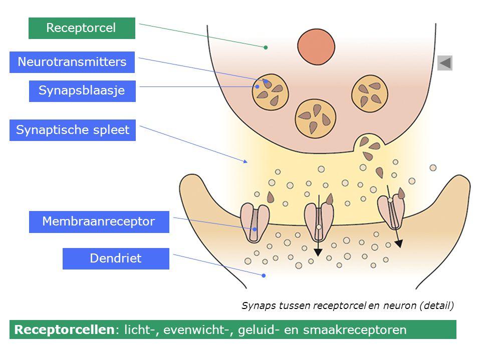 Receptorcellen: licht-, evenwicht-, geluid- en smaakreceptoren