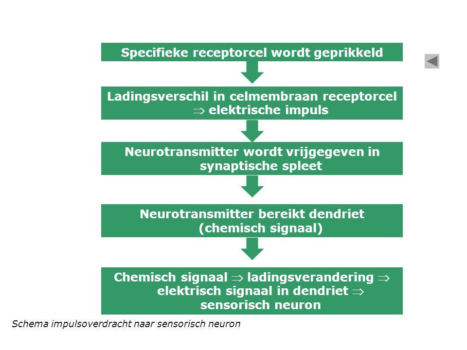 Specifieke receptorcel wordt geprikkeld