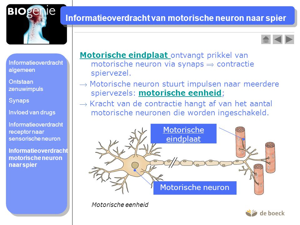 Informatieoverdracht van motorische neuron naar spier