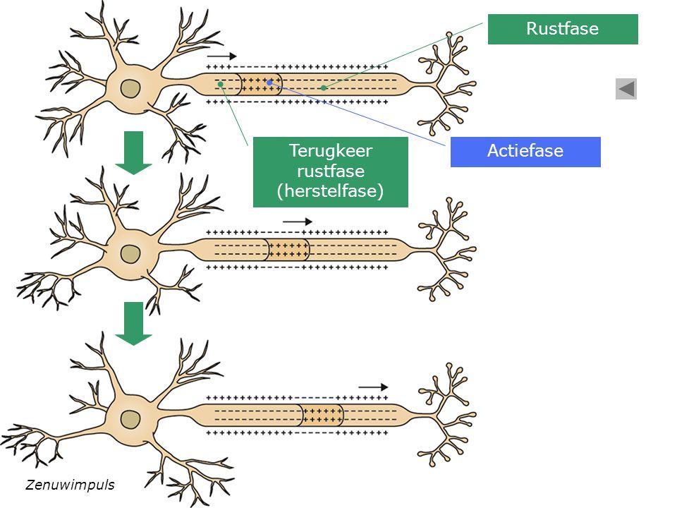 Rustfase Terugkeer rustfase (herstelfase) Actiefase Zenuwimpuls