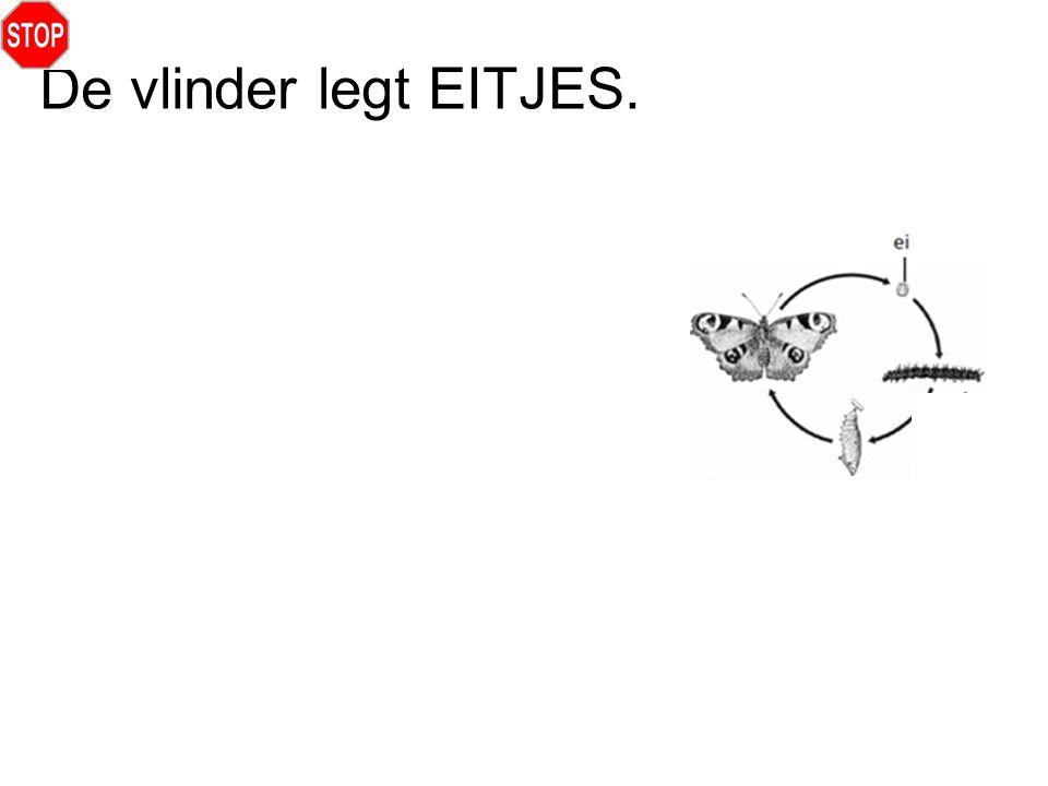 De vlinder legt EITJES.