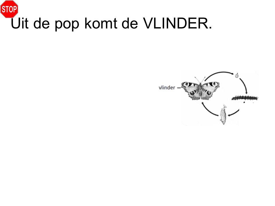Uit de pop komt de VLINDER.