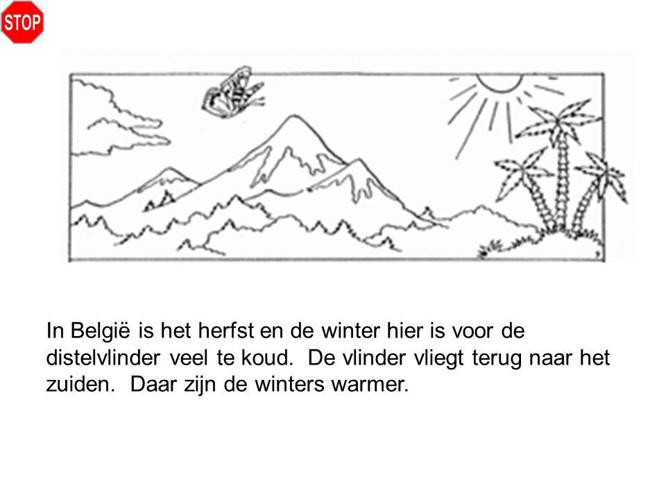 In België is het herfst en de winter hier is voor de distelvlinder veel te koud.
