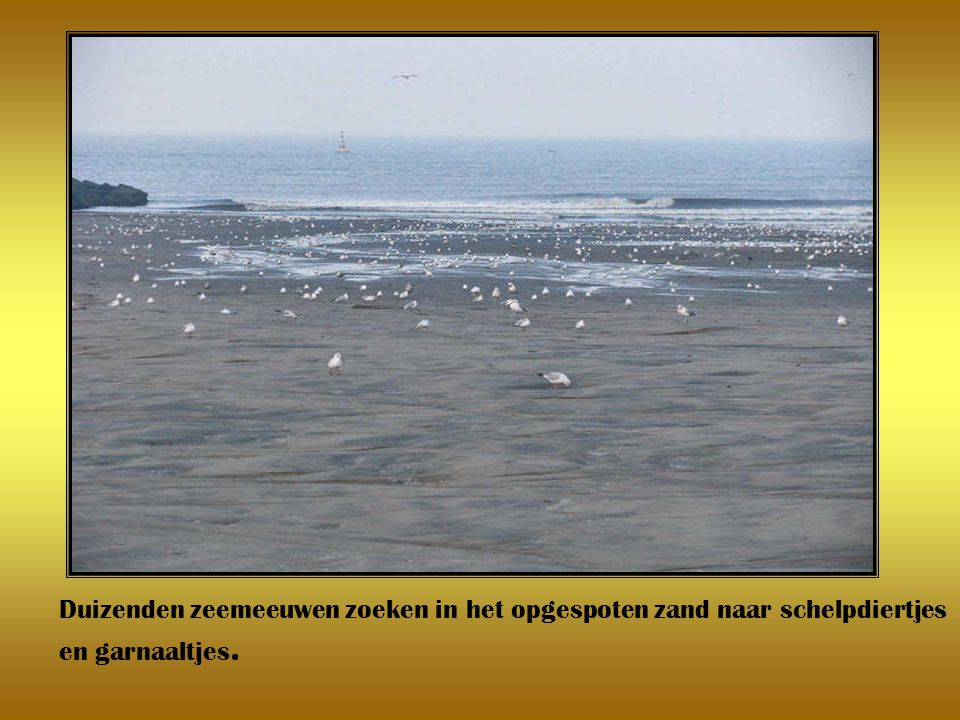 Duizenden zeemeeuwen zoeken in het opgespoten zand naar schelpdiertjes en garnaaltjes.