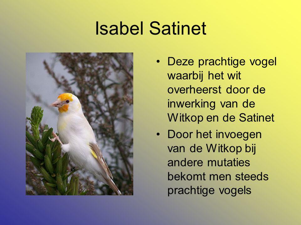 Isabel Satinet Deze prachtige vogel waarbij het wit overheerst door de inwerking van de Witkop en de Satinet.