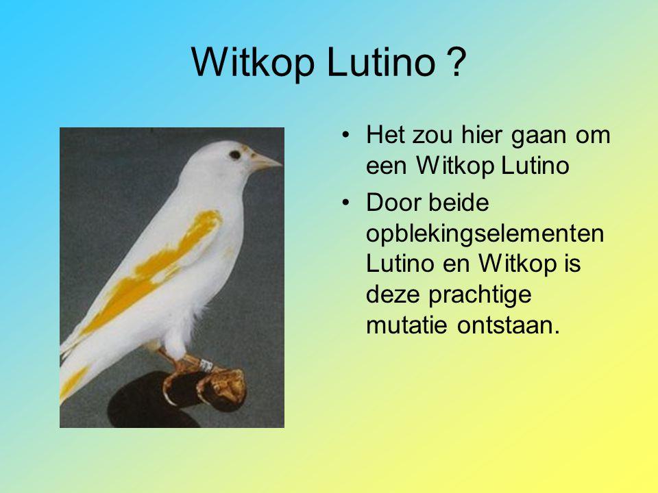 Witkop Lutino Het zou hier gaan om een Witkop Lutino