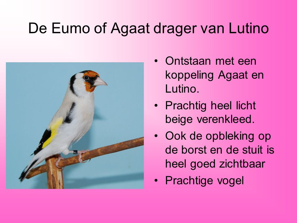 De Eumo of Agaat drager van Lutino