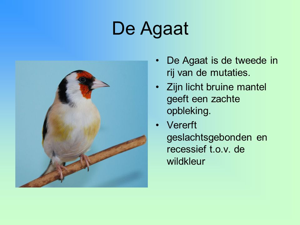 De Agaat De Agaat is de tweede in rij van de mutaties.