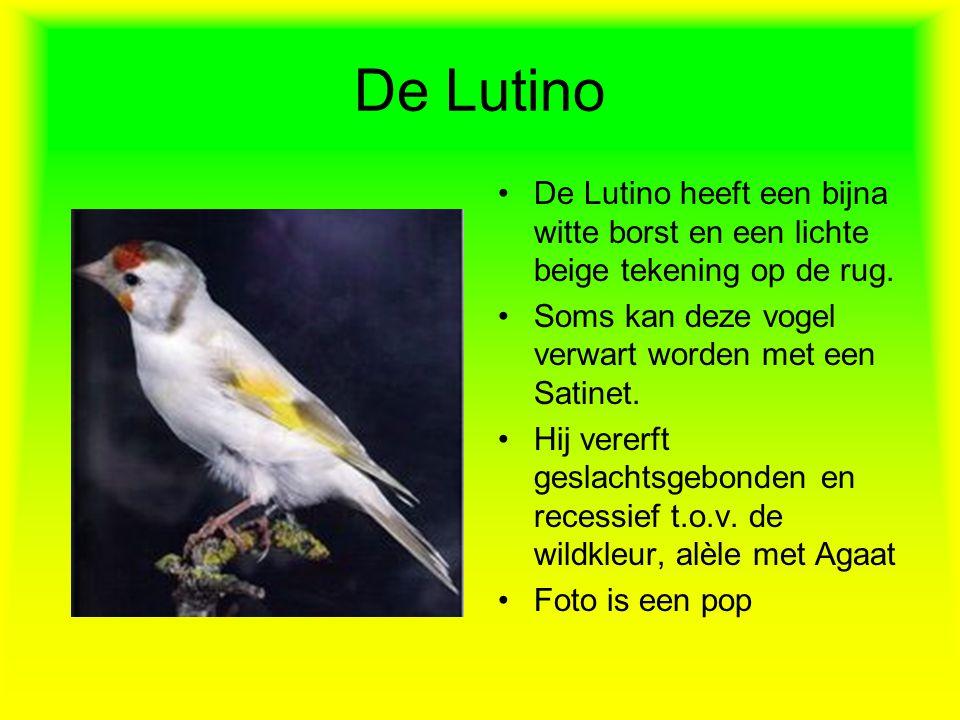 De Lutino De Lutino heeft een bijna witte borst en een lichte beige tekening op de rug. Soms kan deze vogel verwart worden met een Satinet.