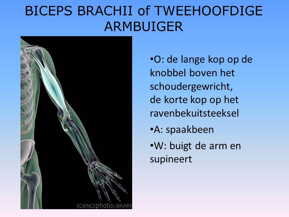 BICEPS BRACHII of TWEEHOOFDIGE ARMBUIGER