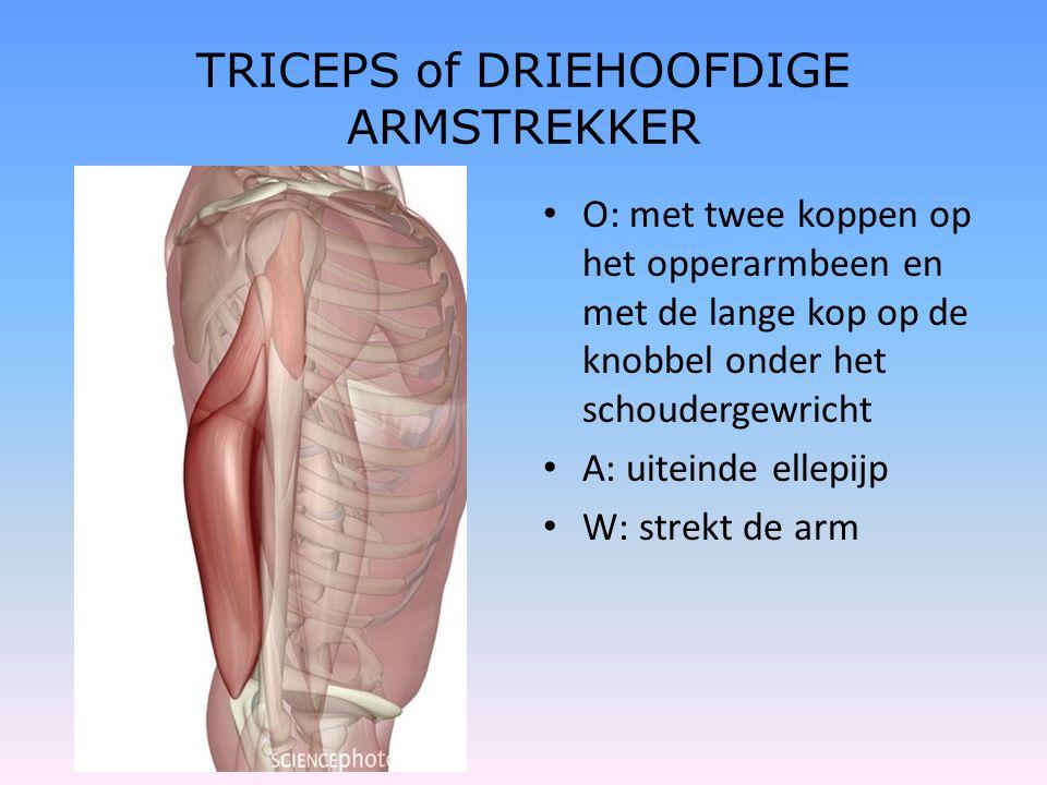 TRICEPS of DRIEHOOFDIGE ARMSTREKKER