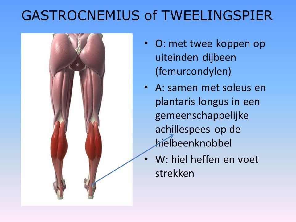 GASTROCNEMIUS of TWEELINGSPIER