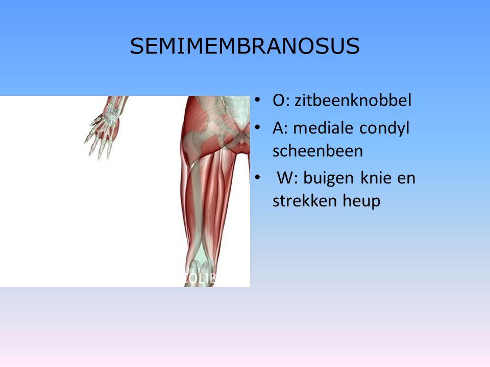 SEMIMEMBRANOSUS O: zitbeenknobbel A: mediale condyl scheenbeen