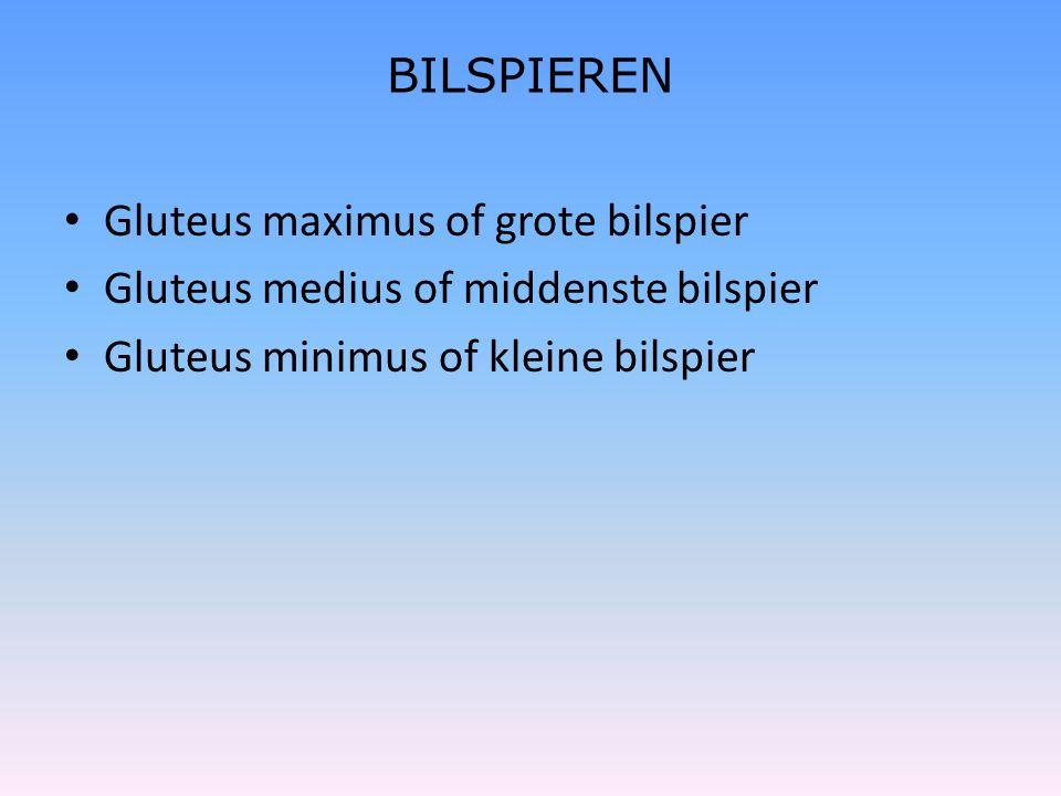 BILSPIEREN Gluteus maximus of grote bilspier. Gluteus medius of middenste bilspier.