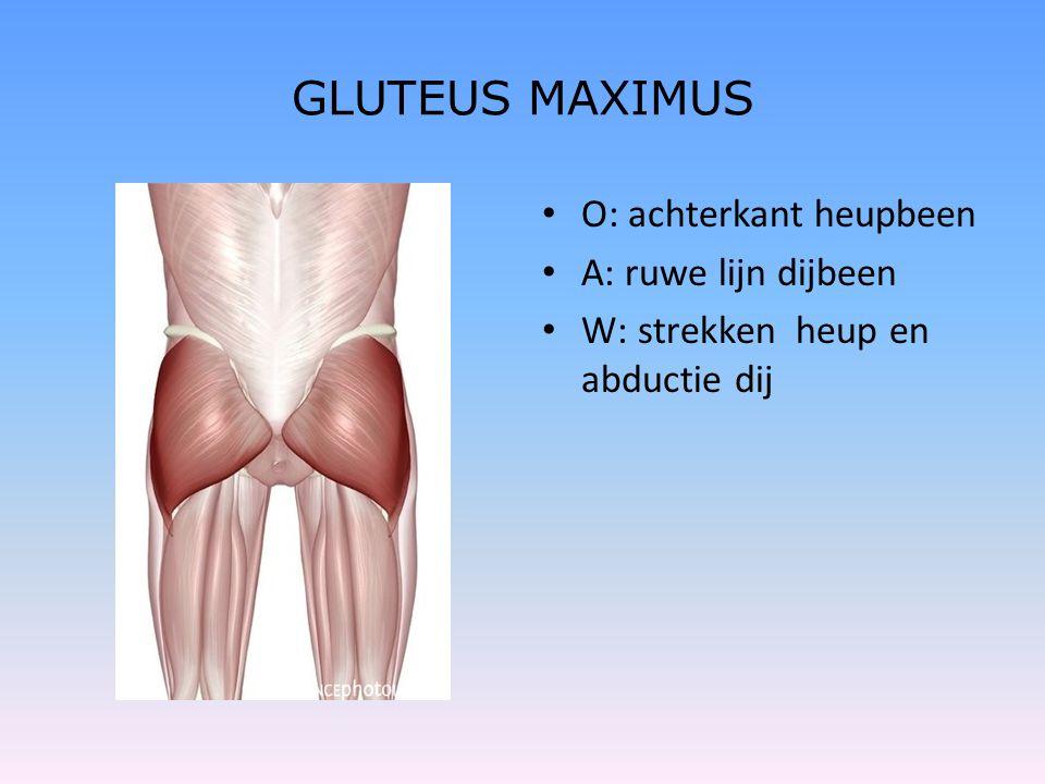 GLUTEUS MAXIMUS O: achterkant heupbeen A: ruwe lijn dijbeen
