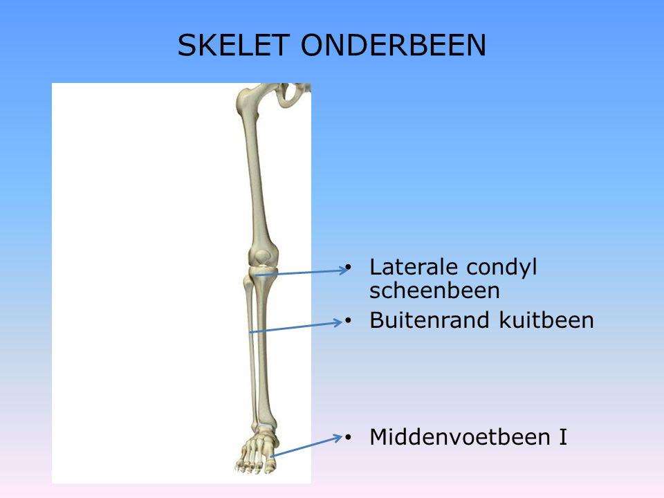SKELET ONDERBEEN Laterale condyl scheenbeen Buitenrand kuitbeen