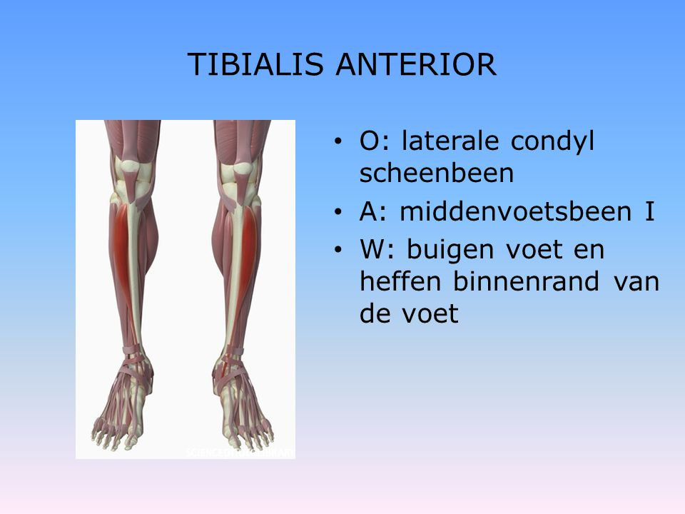 TIBIALIS ANTERIOR O: laterale condyl scheenbeen A: middenvoetsbeen I