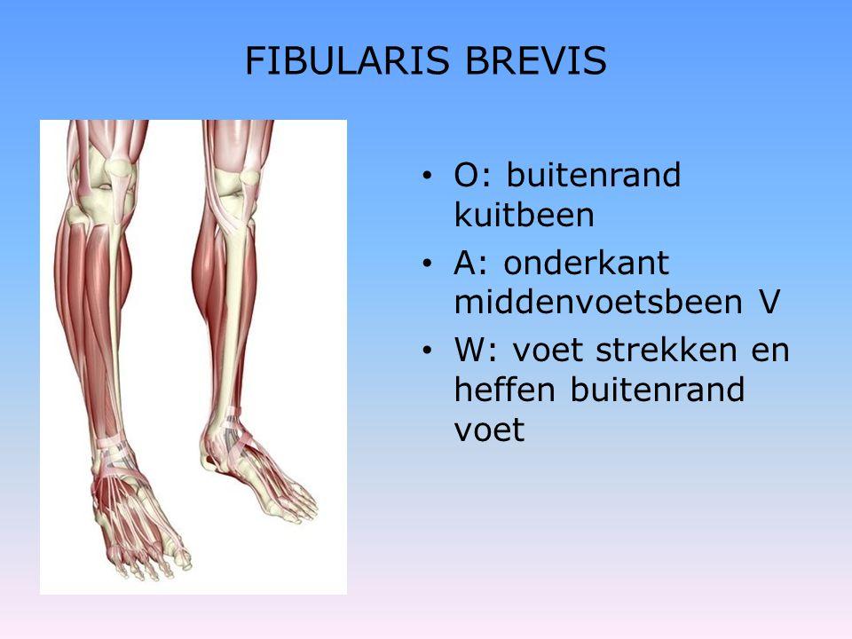 FIBULARIS BREVIS O: buitenrand kuitbeen A: onderkant middenvoetsbeen V