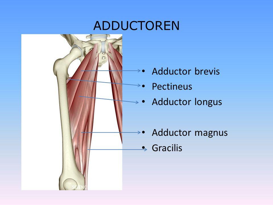 ADDUCTOREN Adductor brevis Pectineus Adductor longus Adductor magnus
