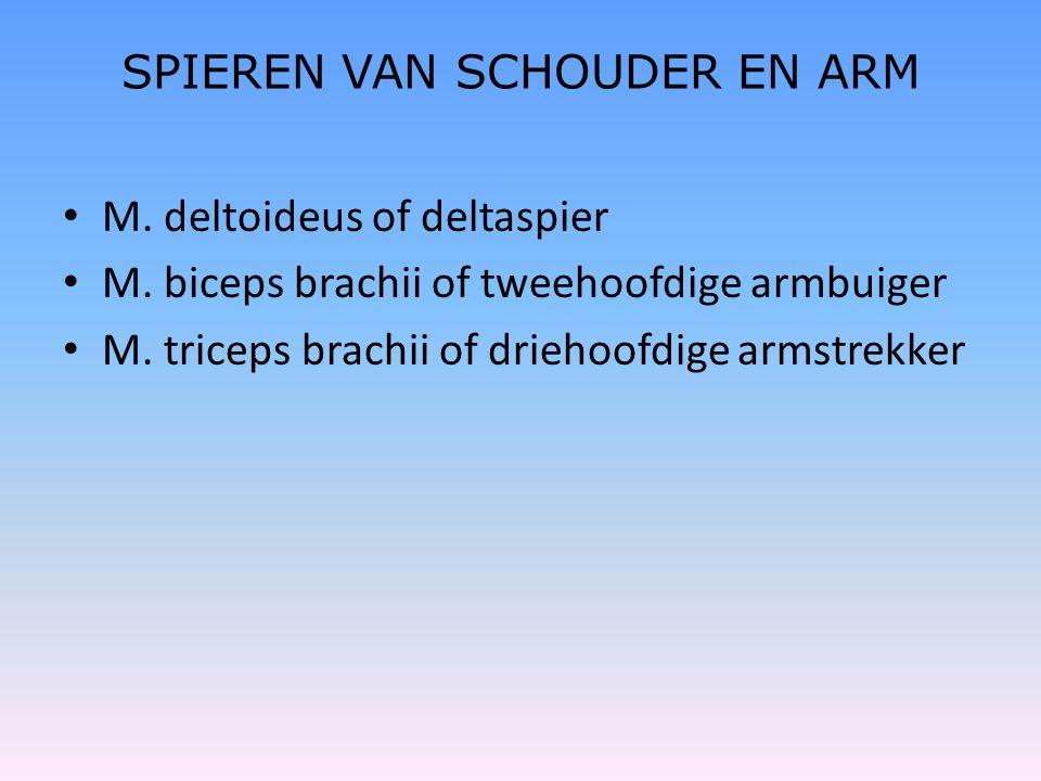 SPIEREN VAN SCHOUDER EN ARM