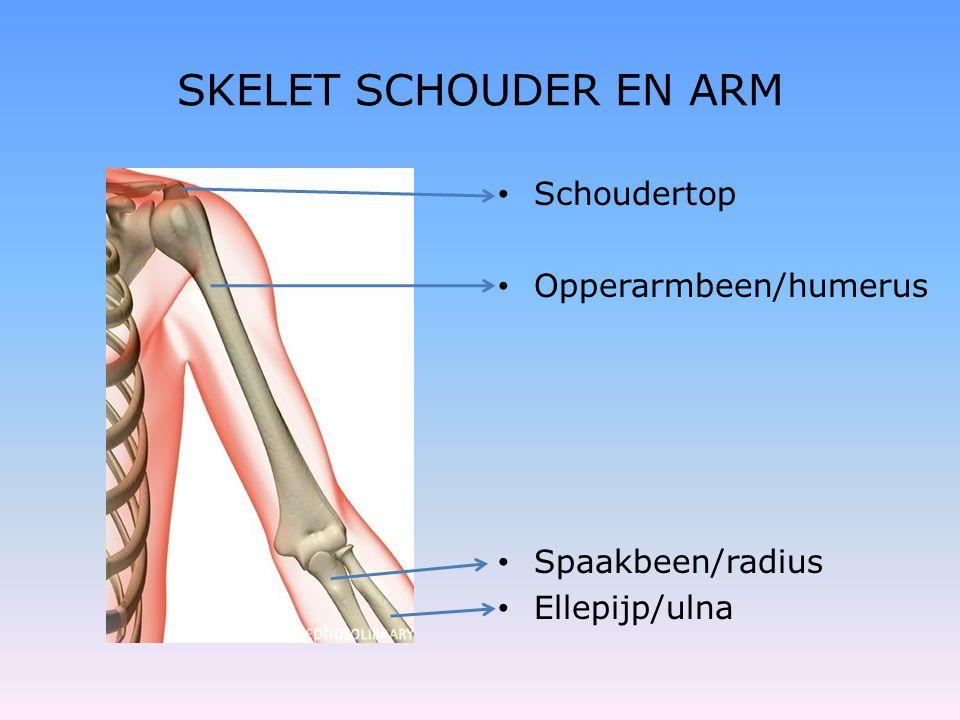 SKELET SCHOUDER EN ARM Schoudertop Opperarmbeen/humerus