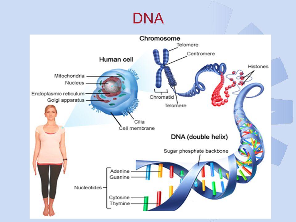 DNA Afdeling Medische Genetica 4 June 2005
