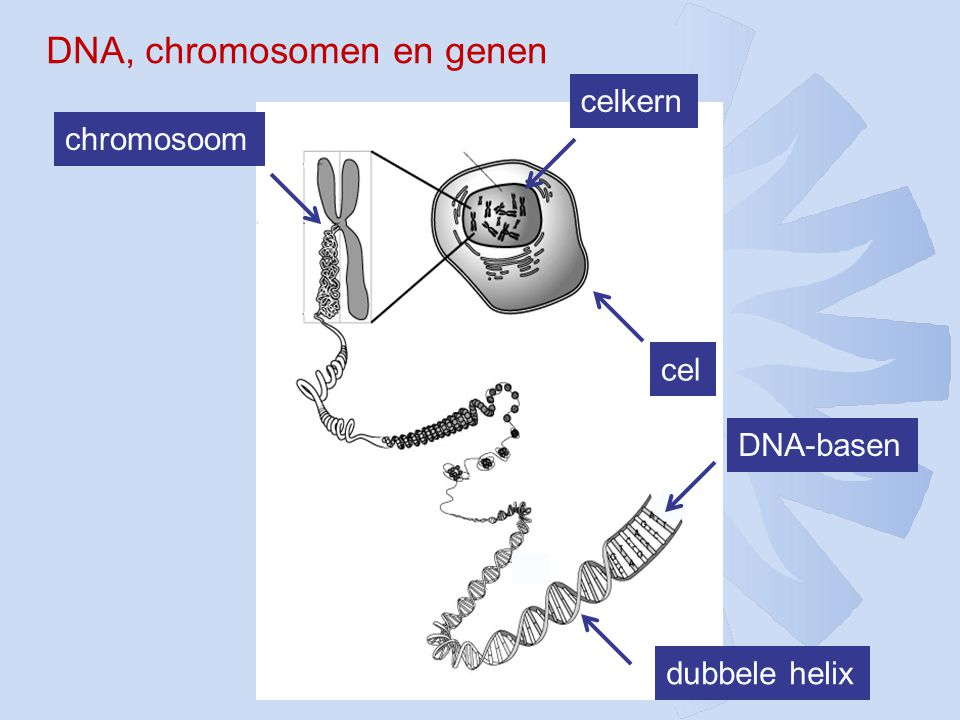 DNA, chromosomen en genen