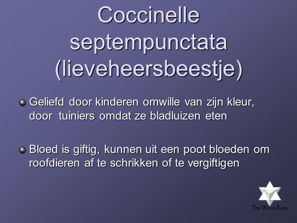 Coccinelle septempunctata (lieveheersbeestje)