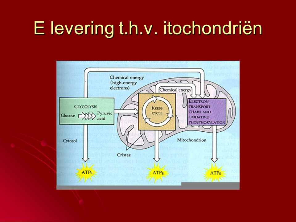 E levering t.h.v. itochondriën