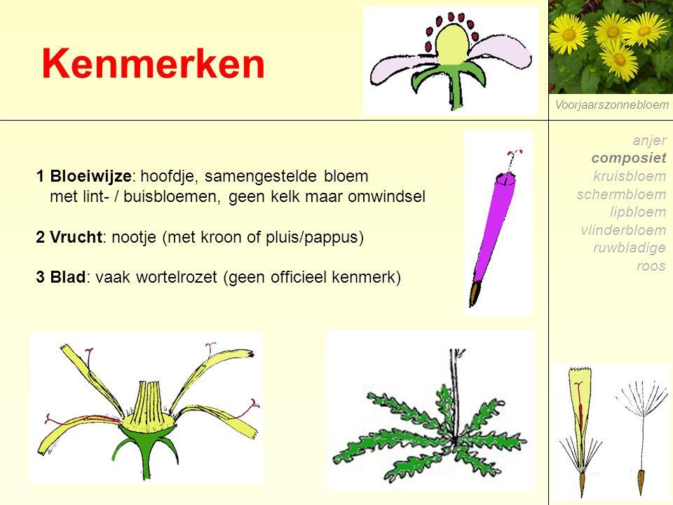 Kenmerken 1 Bloeiwijze: hoofdje, samengestelde bloem