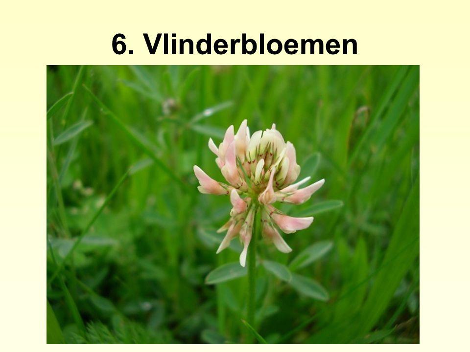 6. Vlinderbloemen
