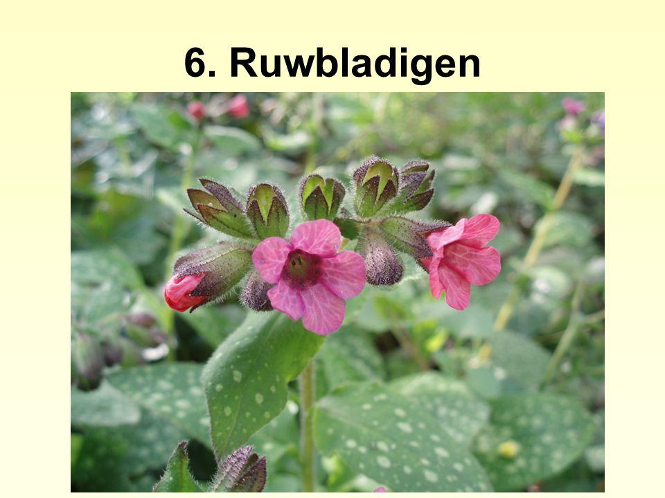 6. Ruwbladigen