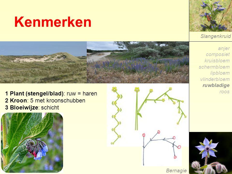 Kenmerken 1 Plant (stengel/blad): ruw = haren