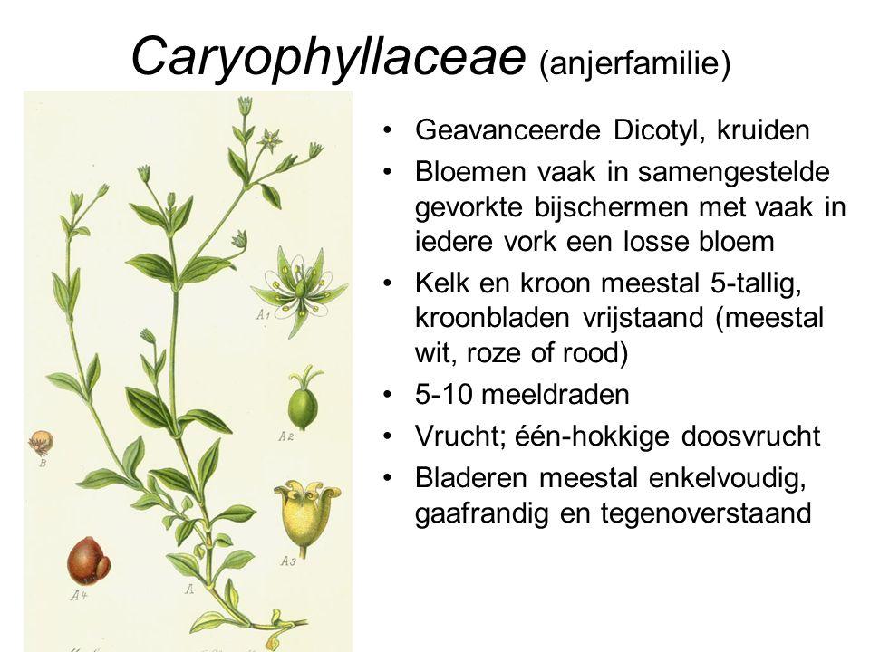 Caryophyllaceae (anjerfamilie)