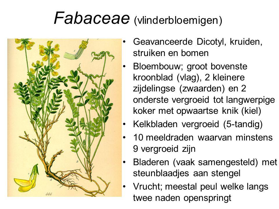 Fabaceae (vlinderbloemigen)