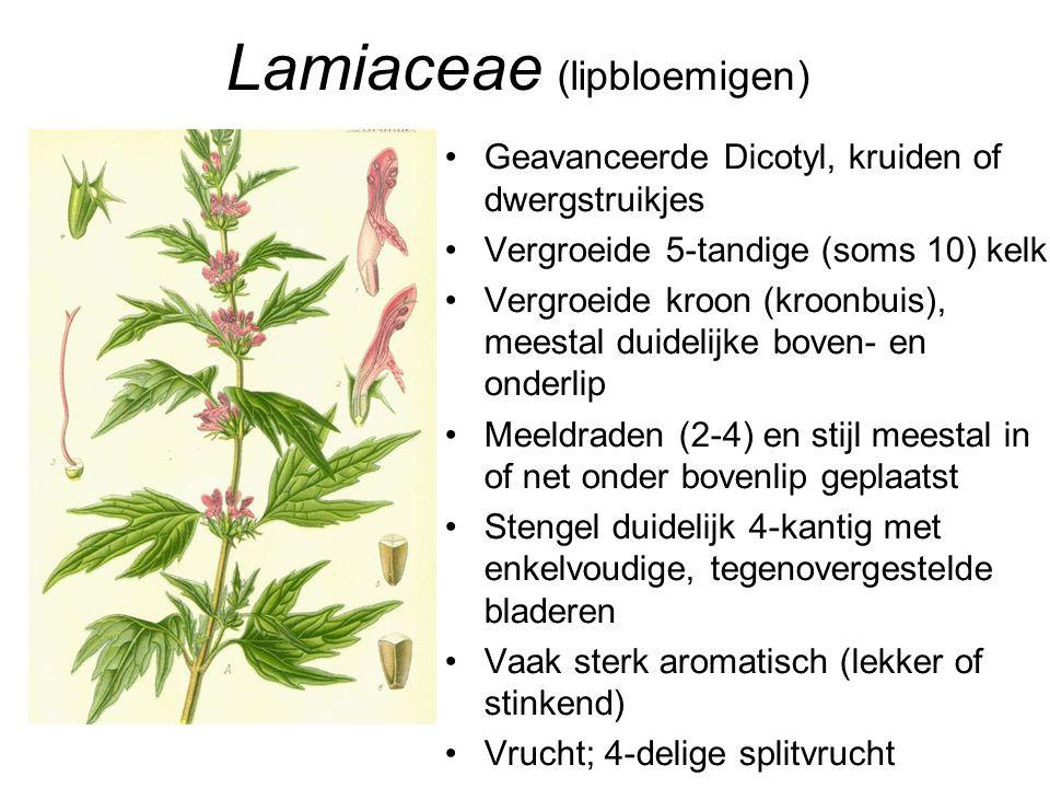 Lamiaceae (lipbloemigen)