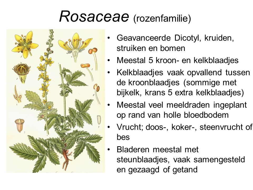 Rosaceae (rozenfamilie)