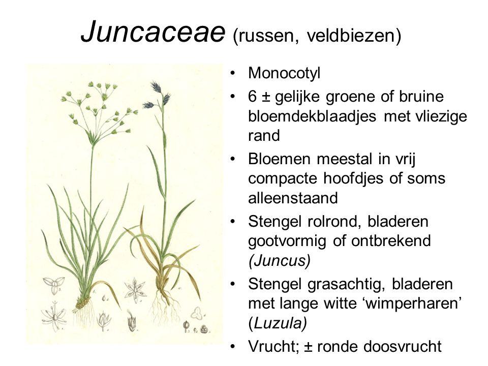 Juncaceae (russen, veldbiezen)