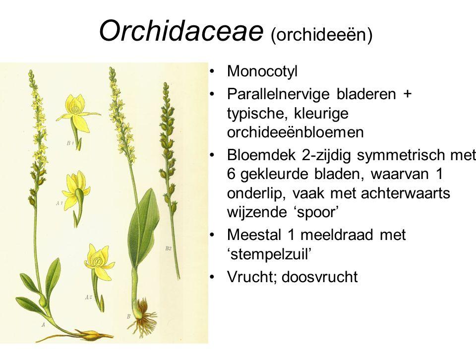 Orchidaceae (orchideeën)