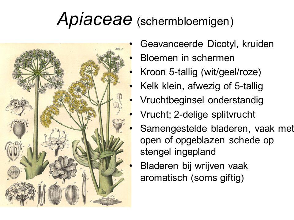 Apiaceae (schermbloemigen)