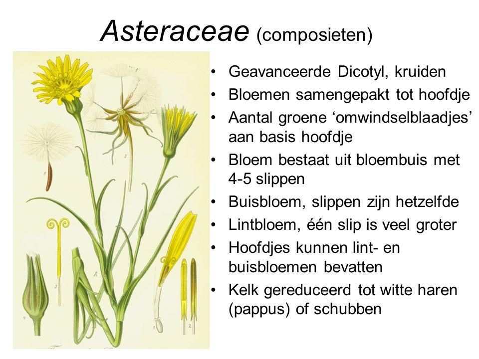 Asteraceae (composieten)