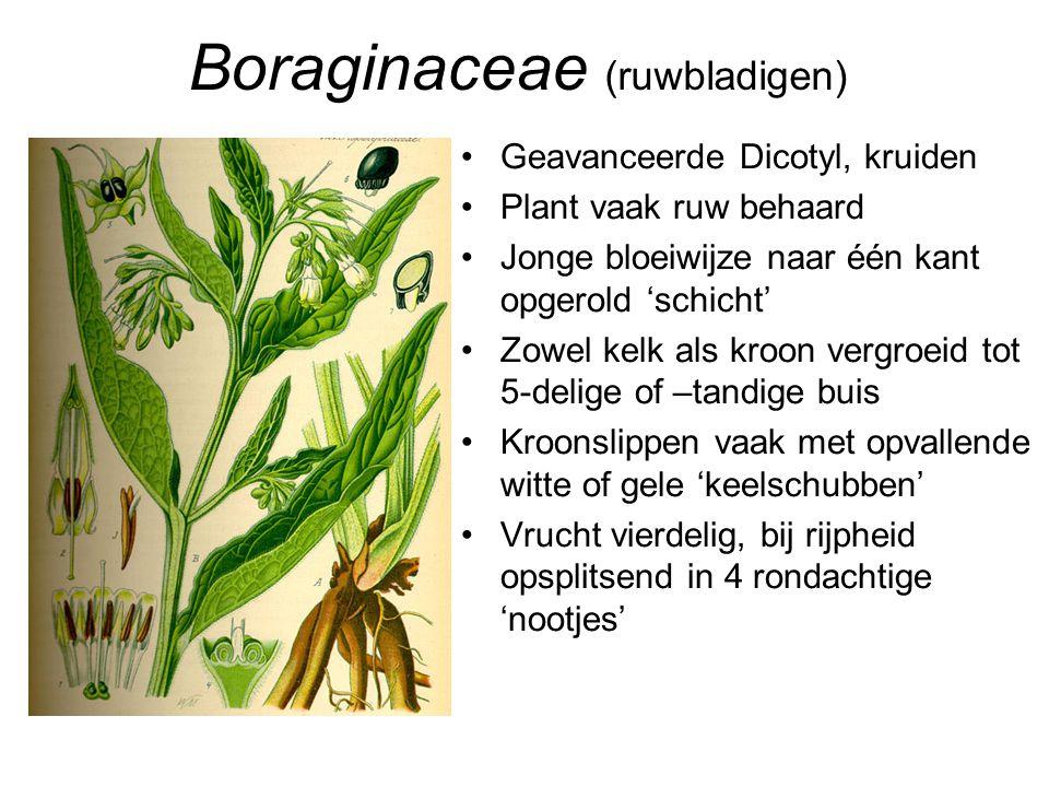 Boraginaceae (ruwbladigen)