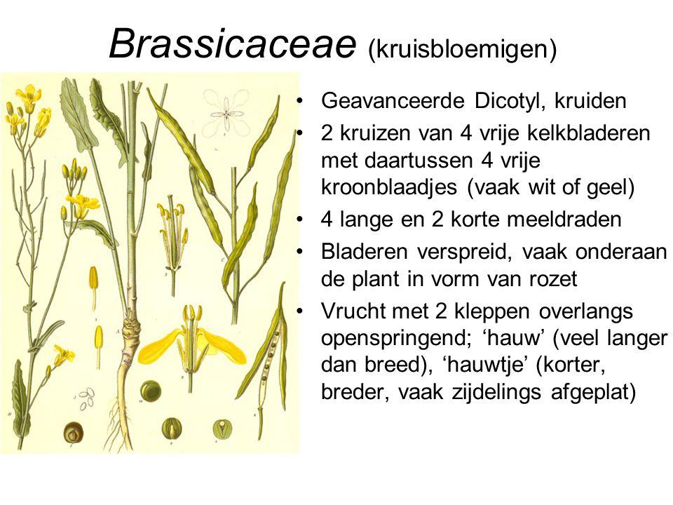 Brassicaceae (kruisbloemigen)