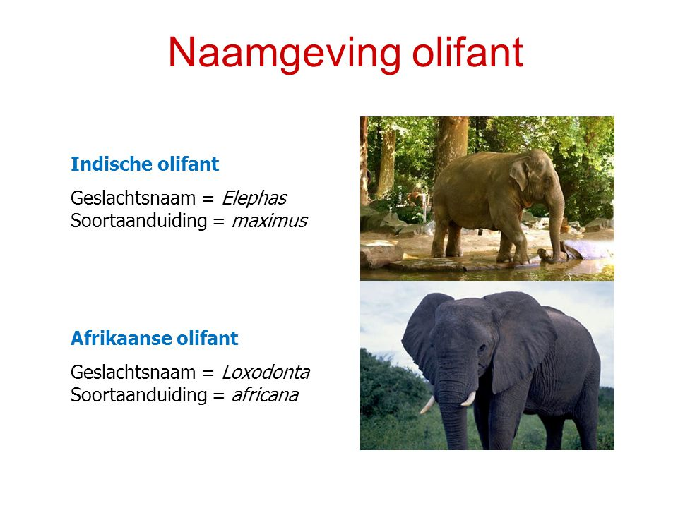 Naamgeving olifant Indische olifant