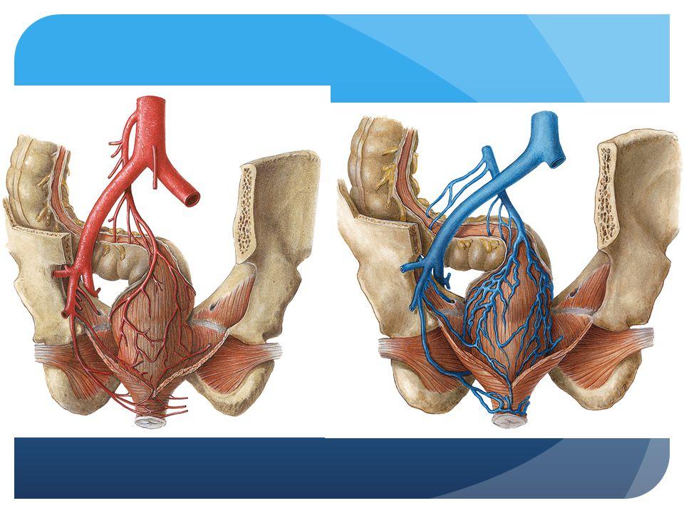 Nog een keer de vaatvoorziening van het rectum. Belangrijk: aa. en vv